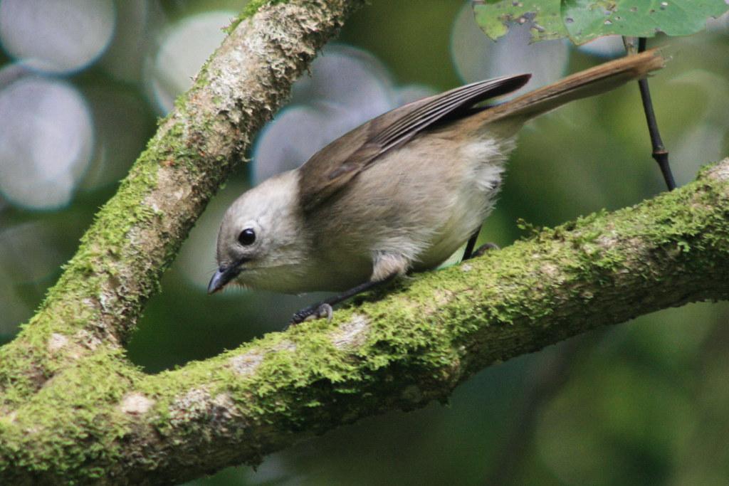 Popokotea - Whitehead - Mohoua albicilla