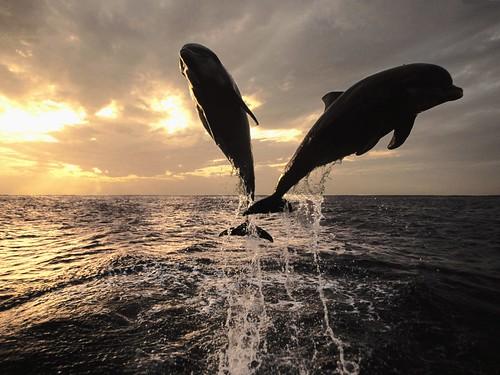 [フリー画像] 動物, 哺乳類, クジラ目, イルカ, 跳ぶ・ジャンプ, 201010181100
