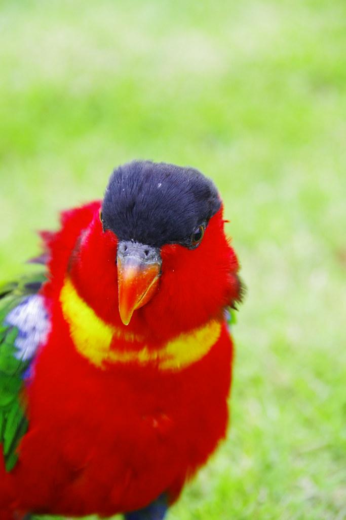 大黃兜吸蜜鸚鵡