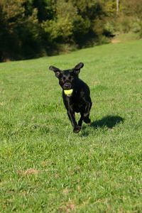Black Lab Fetch