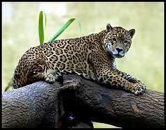 Jaguar at rest (Steve Wilson - classic view please) Tags: uk brazil england southamerica water argentina animal america forest cat mexico mammal zoo big nikon rainforest feline cheshire britain wildlife south great central conservation chester bigcat american jungle bite strong prey paraguay jaguar endangered d200 predator captive panther powerful rare captivity carnivore upton onca chesterzoo panthera pantheraonca nikond200 specanimal caughall mygearandmesilver mygearandmediamond