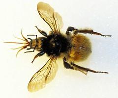 Bombus humilis (Tumbling Bumblebee) Tags: humilis bombus