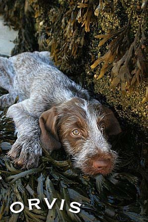 Orvis Cover Dog Contest - Jake