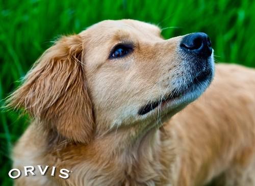 Orvis Cover Dog Contest - Dante