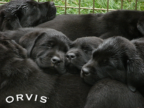 Orvis Cover Dog Contest - Morland Puppies