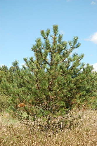 "Black Pine <a style=""margin-left:10px; font-size:0.8em;"" href=""http://www.flickr.com/photos/91915217@N00/4994646215/"" target=""_blank"">@flickr</a>"