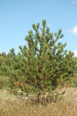 """Black Pine <a style=""""margin-left:10px; font-size:0.8em;"""" href=""""http://www.flickr.com/photos/91915217@N00/4994646215/"""" target=""""_blank"""">@flickr</a>"""
