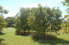 "Pear Trees? <a style=""margin-left:10px; font-size:0.8em;"" href=""http://www.flickr.com/photos/91915217@N00/4995249048/"" target=""_blank"">@flickr</a>"