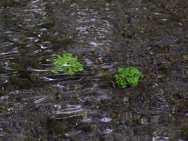 釧路川源流 水の中のクレソン