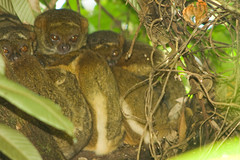 Eastern Woolly Lemur - Ranomafana National Park, Madagascar