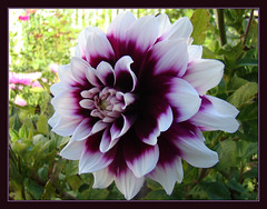 Crowd Pleaser (Photographic Poetry) Tags: dahlia nature garden blossom petal bloom flowrer
