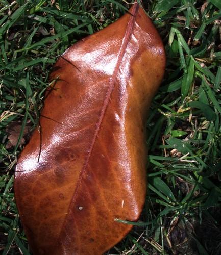 Fallen Magnolia Grandiflora Leaf