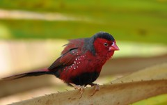 Male Crimson Finch - Neochmia phaeton (mark.photos) Tags: wild male australia darwin finch northernterritory nikond90 crimsonfinch neochmiaphaeton sigma150500mm holmesjunglenaturepark