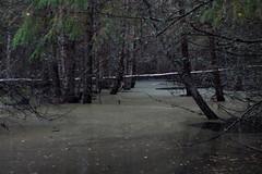 Finnish mangrove forest (mikkohei) Tags: forest canon river dark nationalpark flood mangrove finnish mets kansallispuisto kuru joki tulva vaellus 50d seitseminen pirkanmaa finnishmangroveforest