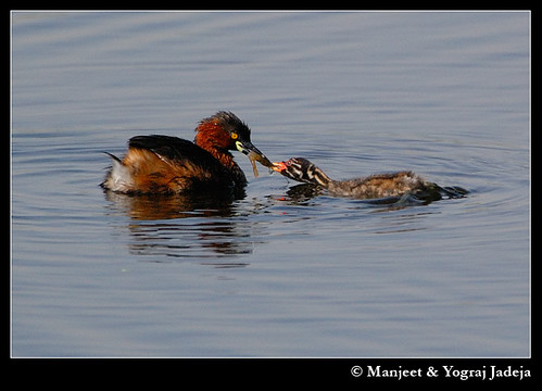 Little Grebe (Tachybaptus ruficollis) feeding chick (with a shrimp?)