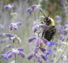 (Wendilove) Tags: black flower nature yellow purple michigan bee pollen collecting wendilove