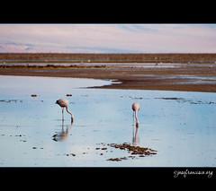 Flamencos en el Salar [2244] (josefrancisco.salgado) Tags: chile bird fauna nikon desert flamingo ave desierto nikkor salar cl flamenco d3 pájaro sanpedrodeatacama salardeatacama saltflat desiertodeatacama atacamadesert repúblicadechile 70300mmf4556gvr reservanacionallosflamencos republicofchile iiregióndeantofagasta provinciadeelloa
