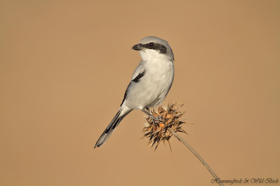 Loggerhead-Shrike-091010