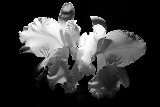 Orchid - B/W
