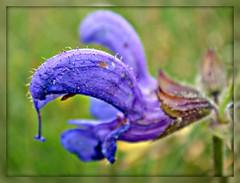 Meadow Sage (CameliaTWU) Tags: mountains flora pasture romania salvia picnik boost apuseni carpathian lamiaceae blueflowers dicot pratensis angiosperms meadowclary margau meadowsage