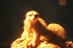 Meerkats in the dark