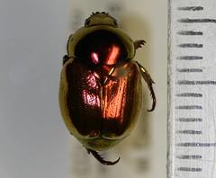 Scarabaeidae (NHM Beetles and Bugs) Tags: beetle scarab coleoptera scarabaeidae rutelinae neotropical neotropic rutelini microrutela