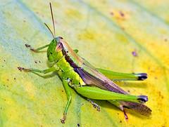 Grasshopper On Lotus Leaf No.2 (aeschylus18917) Tags: macro nature japan insect nikon g micro  grasshopper locust nikkor orthoptera f28 vr pxt 105mm insecta 105mmf28  melanoplinae caelifera 105mmf28gvrmicro d700 nikkor105mmf28gvrmicro   catantopidae oxya  cyrtacanthacridinae danielruyle oxyayezoensis  aeschylus18917 danruyle druyle  hanenagainago oxyinae   oxyajaponica oxyajaponicajaponica