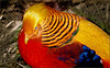 Bird - Golden Pheasant (blmiers2) Tags: blue red usa bird nature birds yellow canon geotagged washingtondc colorful pheasant powershot explore nationalzoo faves g6 animalplanet goldenpheasant chrysolophuspictus phasianidae chrysolophus blm18 blmiers2