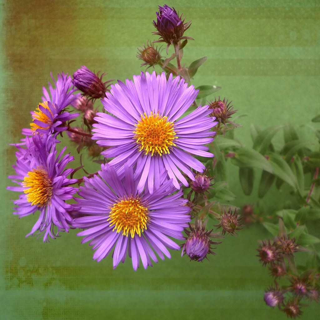 The World S Best Photos Of Asters And Fleur Flickr Hive Mind