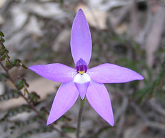 Wax Lip Orchid or Parson-in-the-Pulpit (Ace Frawley) Tags: australia canberra parsoninthepulpit waxliporchid glossodiamajor grassywoodlandunderstory
