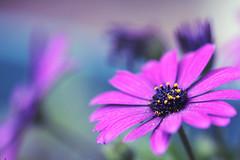 ...I want you to say... (jewelflyt) Tags: blue flower macro green lyrics purple bokeh daisy sayyouresorry sarabareilles hpps perfectpurplesaturday