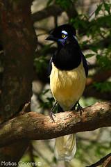 Urraca Comun (Matias Caceres) Tags: naturaleza aves entrerios elpalmar parquenacionalelpalmar matiascaceres naturalezaentrerriana