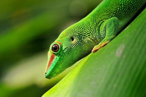 フリー写真素材, 動物, 爬虫類, 爬虫類(その他), ヤモリ, グリーン,