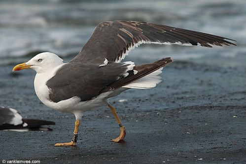 Lesser Black-backed Gull, 4cy, Bk[J0U5]
