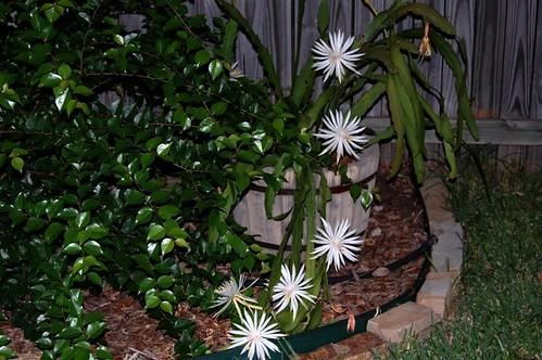 Seven Cereus Blooms