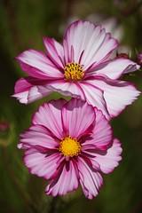 Painted Cosmos (mclcbooks) Tags: pink flowers flower macro yellow closeup bokeh cosmos denverbotanicgardens mygearandmepremium mygearandmebronze mygearandmesilver mygearandmegold