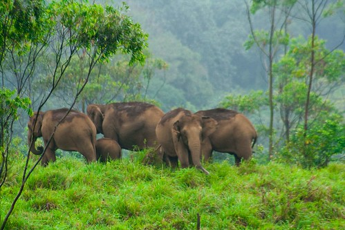 Wild Elephants at Gavi