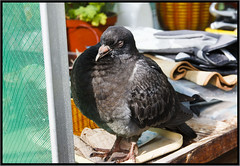 Just Resting #1 (KTDEE....) Tags: uk canon garden lens pigeon leicester sigma greenhouse resting eso poorly closedeye 1770mm 450d