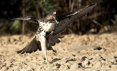 Red Tailed Hawk vs Rattlesnake (bmse) Tags: red canon chica hawk vs bolsa rattlesnake tailed salah 400mm bmse baazizi