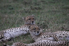 Cheetahs! (beerboxerboy) Tags: africa cat kenya mara cheetah predator masaimara maasaimara