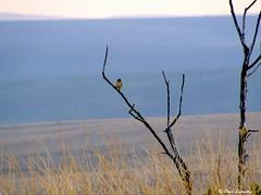 papa-moscas-do-campo (Culicivora caudacuta) (daviuberabalsc) Tags: aves da serra canastra