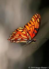 Gulf Fritillary (Image Hunter 1) Tags: nature butterfly flying wings louisiana gulf flight bayou swamp marsh fritillary gulffritillary bayoucourtableau canont2i