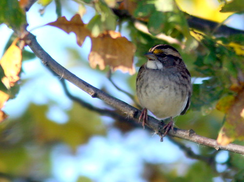 White-throated Sparrow 20101007