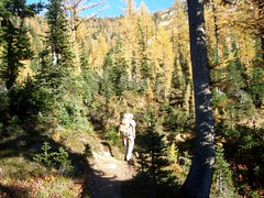 Heading into a grove of larches