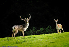 BUCK AND DOE FALLOW DEER. (spw6156 - Over 5,160,003 Views) Tags: pictures beautiful stag steve  doe antlers most 400 and buck fallow waterhouse mostbeautifulpictures croppedcopyright deeriso