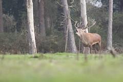 Red Deer (Jamie Hall 78) Tags: red deer reddeer