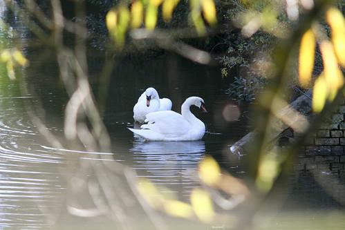 Swans, Through Trees, Fort Brockhurst