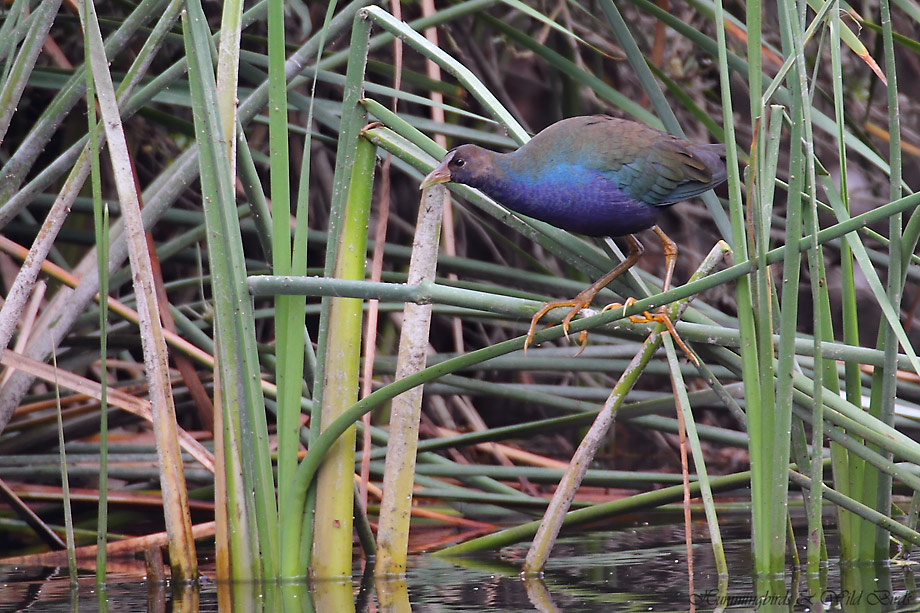 Purple-Gallinule-101010