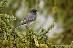 10_15_10 DE Junco (pwtphotography (Nathan)) Tags: ontario canada tree bird fall home nature canon eos sparrow spruce barrie darkeyedjunco 50d birdaday 100400mm4556lis