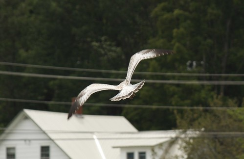 Seagulls at Crystal Lake (4)